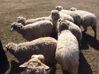 How sheepherding can help the urban dog...